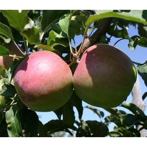Яблоня Лигол, зимняя