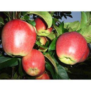 Яблоня Лигол 2-х летняя