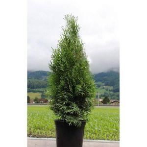 Туя Смарагд (Smaragd) 90-100 см