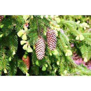 Ель европейская экстра (Picea abies extra), 100-120 см