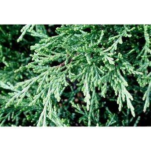 Можжевельник казацкий Глаука (Glauca) 30-40 см