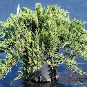 Можжевельник казацкий Тамарисцифолия (Tamariscifolia) до 140 см