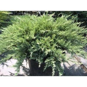 Можжевельник казацкий Тамарисцифолия (Tamariscifolia) до 170 см
