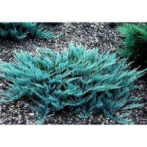 Можжевельник чешуйчатый Блю Карпет (Blue Carpet) до 160 см