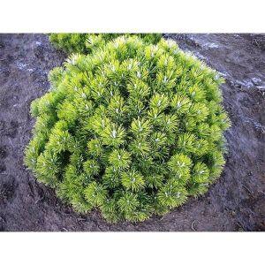 Сосна горная Пумилио (Pumilio) грунт 2 литра