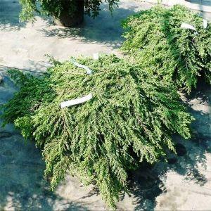 Можжевельник обыкновенный Грин Карпет (Green Carpet) диаметр 130-160 см