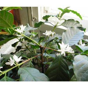 Почему кофейное дерево не цветет в домашних условиях