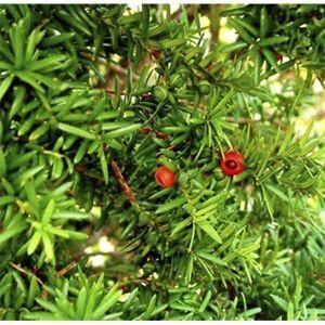 Тис ягодный Фастигиата Робуста (Fastigiata Robusta)