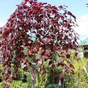Береза бородавчатая Пурпуреа (Purpurea)