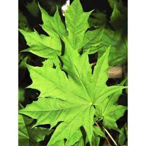 Клен остролистный Глобосум (Globosum) экстра