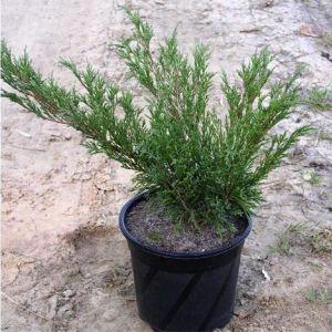 Можжевельник казацкий Тамарисцифолия (Tamariscifolia) до 80 см