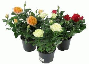 Удобрение для роз Чистый Лист, 300 г