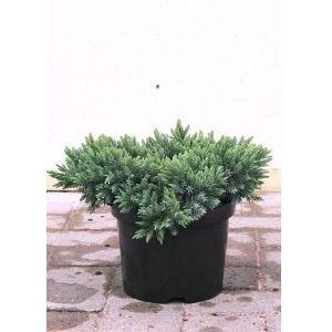 Можжевельник чешуйчатый Блю Карпет (Blue Carpet), диаметр 30-40 см