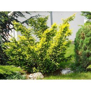 Тис ягодный желтый Элегантиссима (Elegantissima)