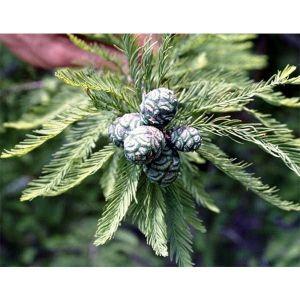 Таксодиум двурядный (Болотный кипарис) Taxodium distichum