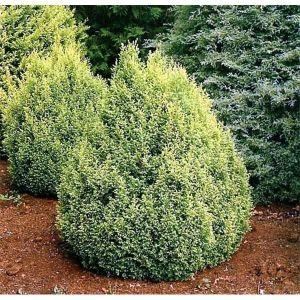 Кипарисовик горохоплодный Плюмоза Ауреа Компакта (Plumosa Aurea Compacta)