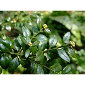 Самшит вечнозеленый (Buxus sempervirens), высота 25-30 см