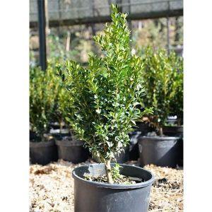 Самшит вечнозеленый (Buxus sempervirens), высота 30-35 см