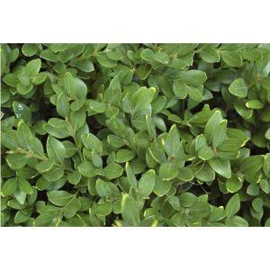 Самшит вечнозеленый (Buxus sempervirens), высота до 30 см