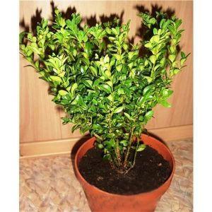 Самшит вечнозеленый (Buxus sempervirens), высота 40-45 см