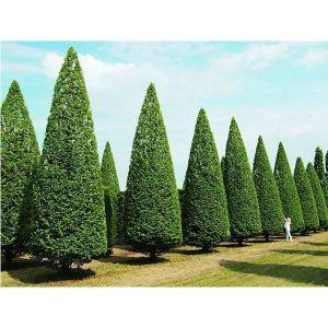 Граб обыкновенный (Carpinus betulus), высота 40-50 см