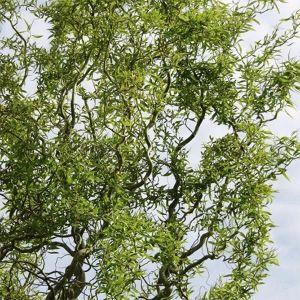 Ива кудрявая Тортуоза (Tortuosa), высота 200-250 см