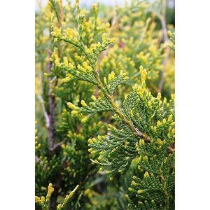 Туя западная Ауреоспиката (Aureospicata)
