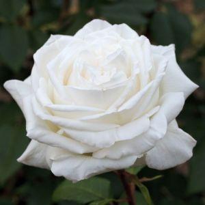 Роза Polar Star (Полар Стар)