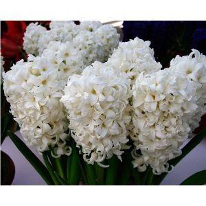 Гиацинт White Pearl (Уайт Перл)