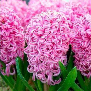 Гиацинт Pink Pearl (Пинк Перл)