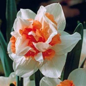 Нарцисс махровый Replete (Риплет)
