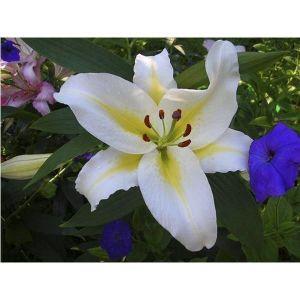 Лилия ориентальная Baferrari (Баферари)