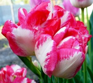 Тюльпан махровый Cartouche (Картуш)