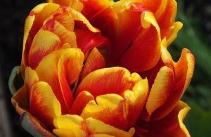 Тюльпан махровый Cilesta (Силеста)