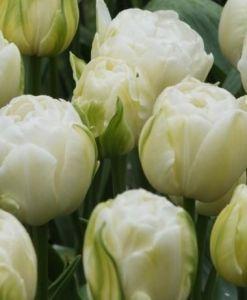 Тюльпан махровый Double Maureen (Дабл Маурин)