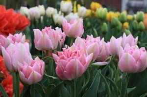 Тюльпан махровый Peach Blossom (Пич Блоссом)