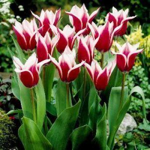 Тюльпан лилеоподобный Akita (Акита)