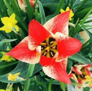 Тюльпан низкорослый Czaar Peter (Царь Петр)