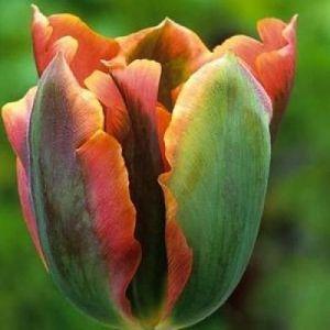 Тюльпан зеленоцветный Artist (Артист)