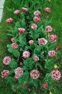 Тюльпан бахромчатый Brest (Брест)