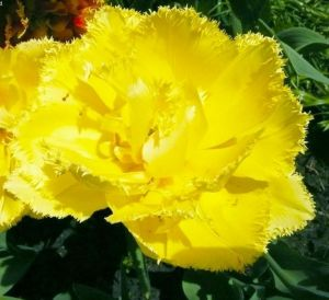 Тюльпан бахромчатый Exotic Sun (Экзотик Сан)