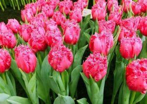 Тюльпан бахромчатый Kingston (Кингстон)