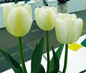 Тюльпан Angels Wish (Энжел Уиш)