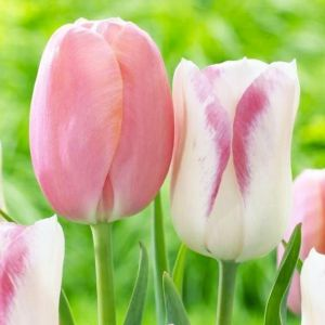 Тюльпан Blushing Girl (Блашин Герл)