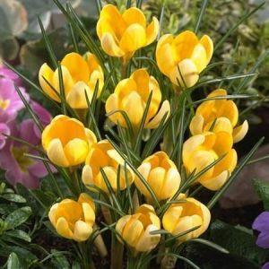 Крокус Yellow Giant (Йеллоу Гаянт)