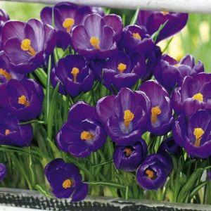 Крокус Flower Record  (Флауэр Рекорд)