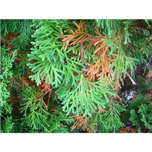 Удобрение Biopon для хвойных растений против покоричневения хвои