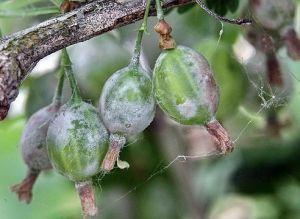 Биопрепарат для защиты ягодных культур Джерело