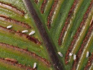 Биопрепарат Джерело для защиты пальм