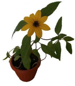 Улюблена квіточка - Подсолнух